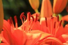 лилии красные Стоковые Изображения RF