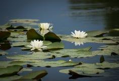 лилии мочат белизну Стоковые Фото