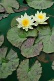 лилии мочат желтый цвет Стоковое Изображение RF