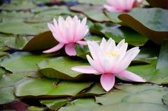2 лилии на листьях в воде Стоковое Изображение RF