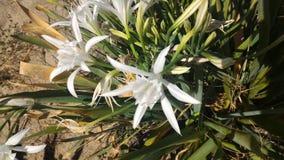 2 лилии песка Стоковая Фотография RF