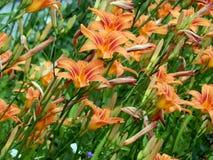 лилии сада Стоковое Фото