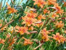 лилии сада Стоковая Фотография RF