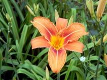 лилии сада Стоковое фото RF