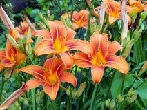 лилии сада Стоковые Фотографии RF