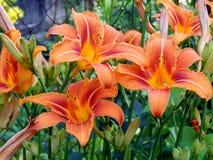 лилии сада Стоковые Изображения RF