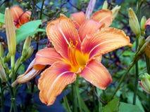 лилии сада Стоковое Изображение RF