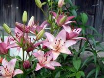 лилии сада Стоковая Фотография
