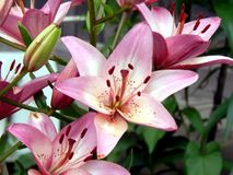 лилии сада Стоковое Изображение