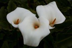 лилии calla 3 Стоковые Изображения RF