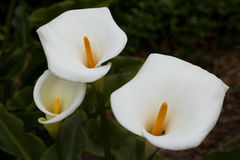 лилии calla 3 Стоковое фото RF