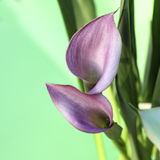 2 лилии calla Стоковое фото RF