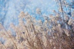 Идите снег на цветках заводе сухой травы, предпосылке зимы луга Стоковая Фотография RF