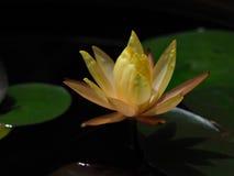 лилия желтой воды  ¹ à Стоковые Изображения RF