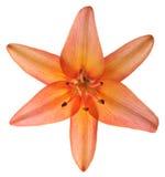 лилия изолированная цветком Стоковые Изображения RF