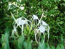лилия паука белых цветков Стоковая Фотография RF