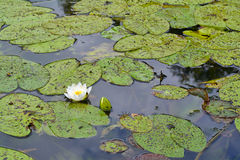 лилия сиротливая Стоковая Фотография