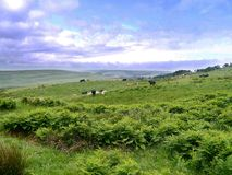 Идилличная сцена страны с коровами на первый план Стоковое Изображение
