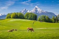 Идилличный ландшафт лета в Альпах при коровы пася Стоковые Фото