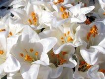 Или лилии 2011 Yehuda белые Стоковая Фотография RF
