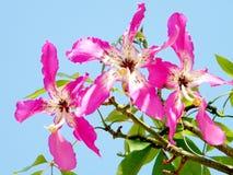 Или цветок 2010 speciosa Yehuda Chorisia стоковая фотография