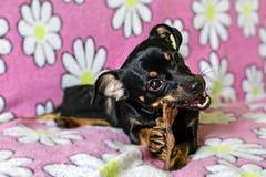 И малая черная собака грызя косточку Стоковая Фотография