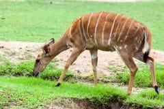 Идти антилопы Брайна Стоковые Изображения