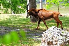 Идти антилопы соболя (Hippotragus Нигера) Стоковая Фотография RF