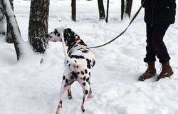 Идти Далматина и женщины собаки Стоковое Фото