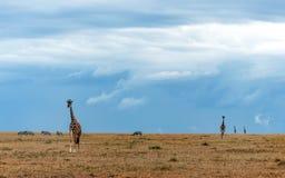 Идти жирафа Стоковая Фотография