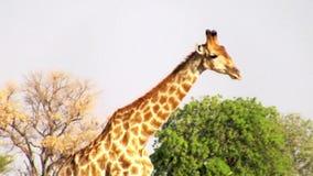 Идти жирафа акции видеоматериалы