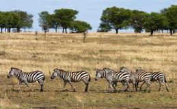 Идти зебры Стоковые Изображения RF
