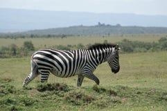 Идти зебры Стоковое Изображение RF