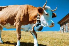 Идти коровы Стоковое Изображение RF
