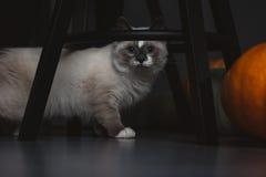 Идти кота Ragdoll стоковые изображения rf