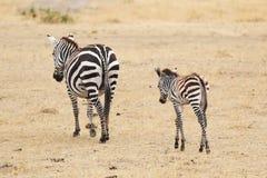 Идти матери и младенца зебры Стоковая Фотография RF
