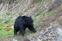 Идти медведя Стоковые Изображения RF
