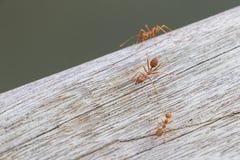 Идти муравьев Стоковые Изображения
