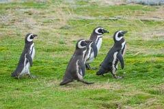 Идти 4 пингвинов Стоковое Изображение