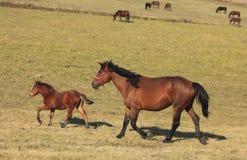 идти рысью лошадей Стоковое Фото
