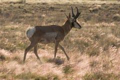 Идти самца оленя антилопы Pronghorn Стоковая Фотография