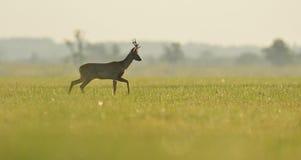 Идти самца оленя косуль Стоковое Изображение RF