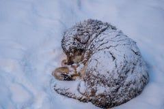 Идти снег в волке Стоковые Изображения
