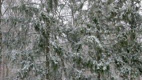 Идти снег в лесе ели сток-видео