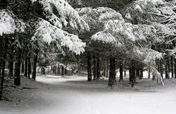 Идти снег в древесинах стоковое изображение rf
