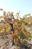 Идти среди виноградников Стоковое фото RF
