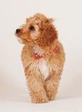 Идти щенка Cockapoo Стоковая Фотография