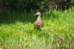 Идти platyrhynchos Anas кряквы женский на траву берега Стоковое Изображение RF
