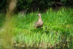Идти platyrhynchos Anas кряквы женский на траву Стоковое Изображение RF