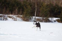 Идущая лайка щенка стоковые фото